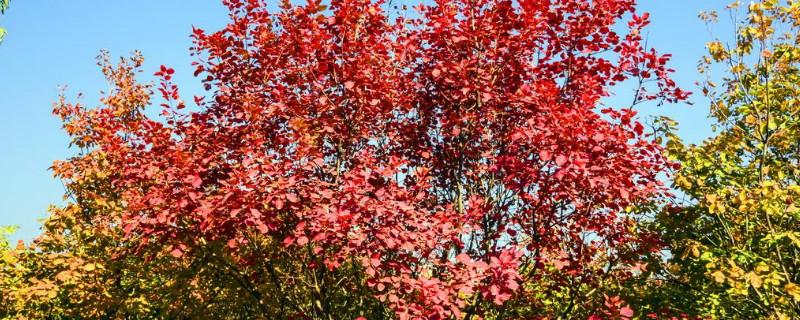 火炬树叶子什么时候变红