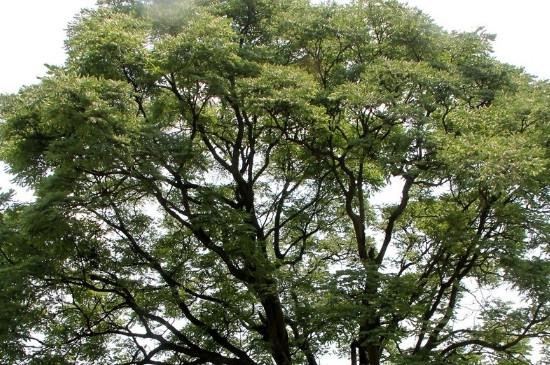 无患子树的种植方法