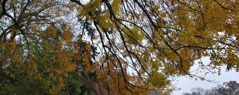 黄连木是常绿还是落叶