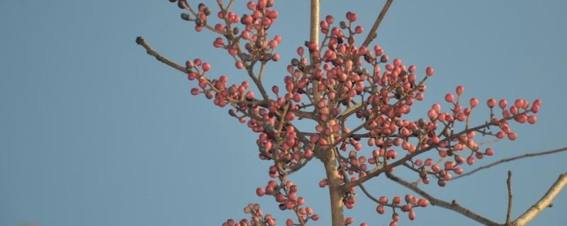 黄连木是红木吗