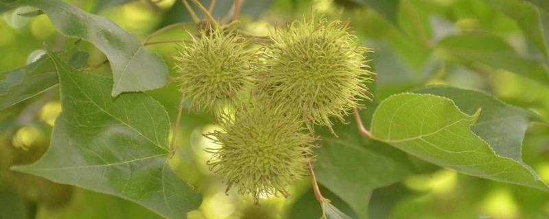 枫香树的果实可以吃吗