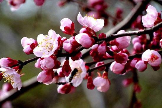 梅花的顏色和形狀和特征