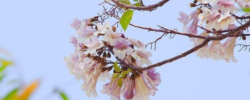 紫花泡桐花期