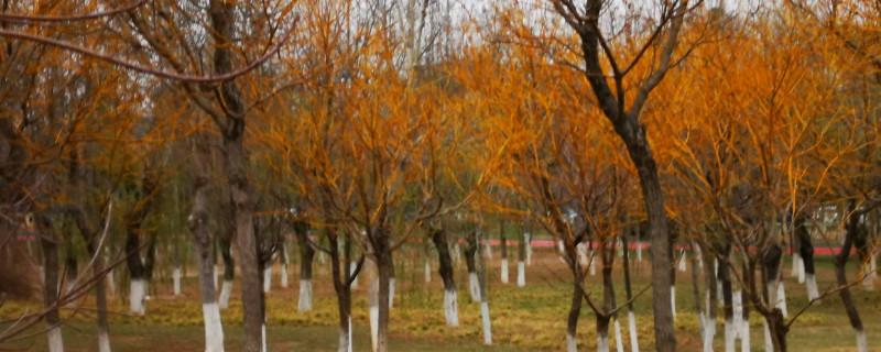 金枝槐怎么种植