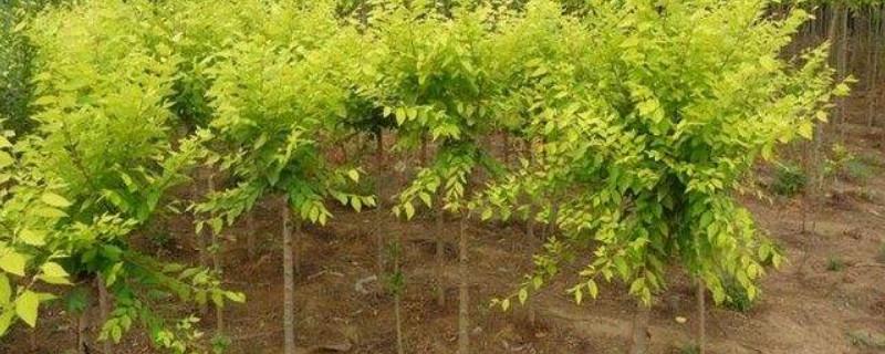 金枝槐怎么样才能长得快