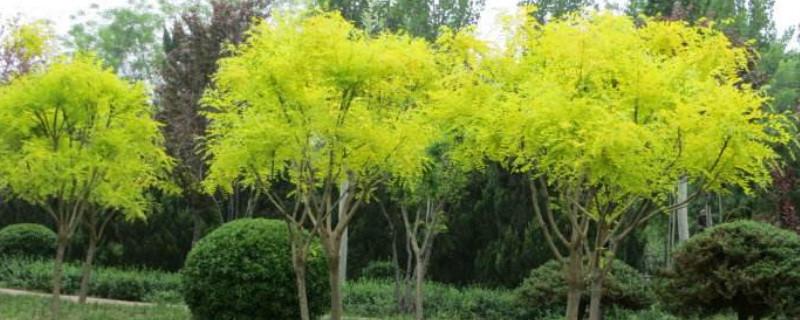 金枝槐是常绿还是落叶