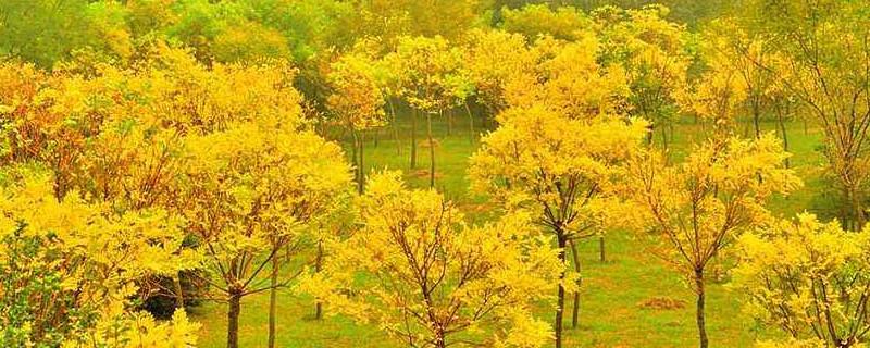 金枝槐是乔木还是灌木