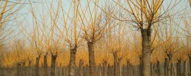 金枝槐叶子发黄是怎么回事