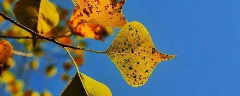 烏桕葉子夏季發黃是原因