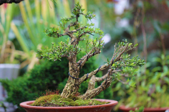珍珠黃楊的養殖方法和注意事項