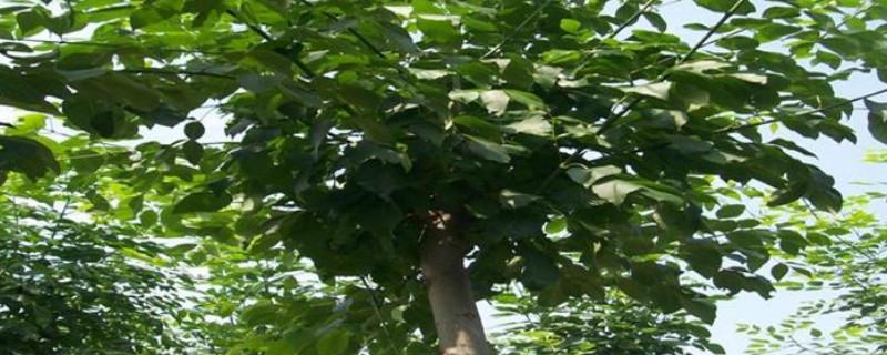 白腊树怎么插