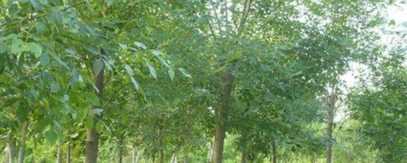 白腊树能嫁接桂花树吗