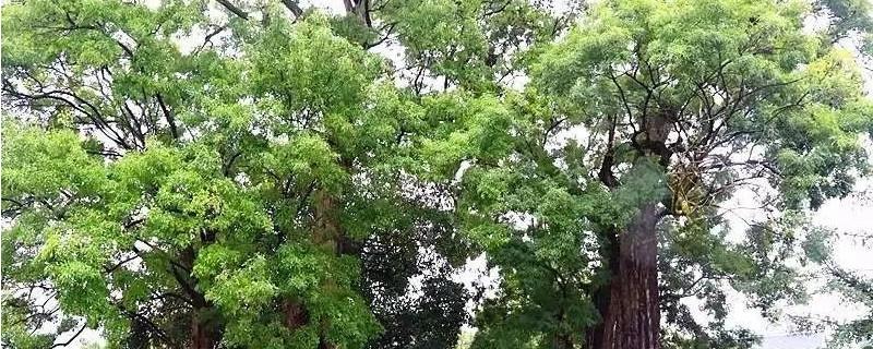 白腊树的种类