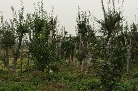 白腊树的修剪季节