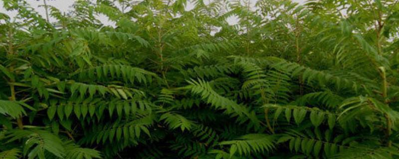 白腊树如何繁殖