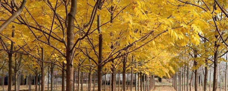 金枝槐叶子什么时候变黄