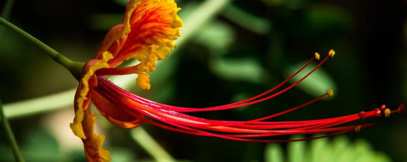 金鳳花的花語