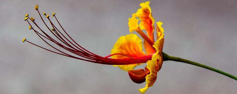 金鳳花什么時候開花
