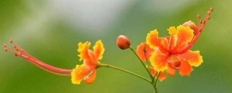 金鳳花如何養