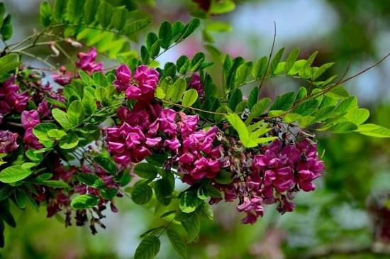 香花槐葉子發黃原因