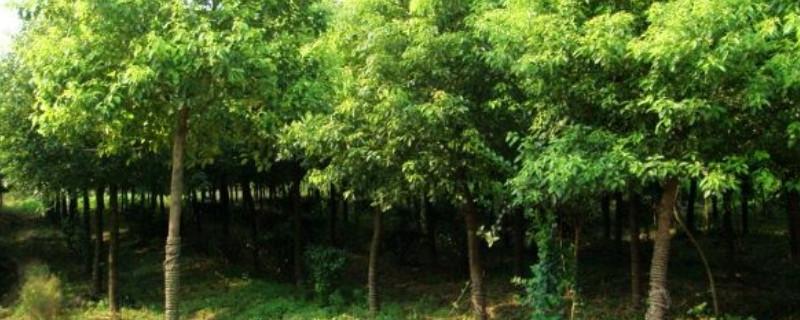 黄山栾树一年施肥最佳时间