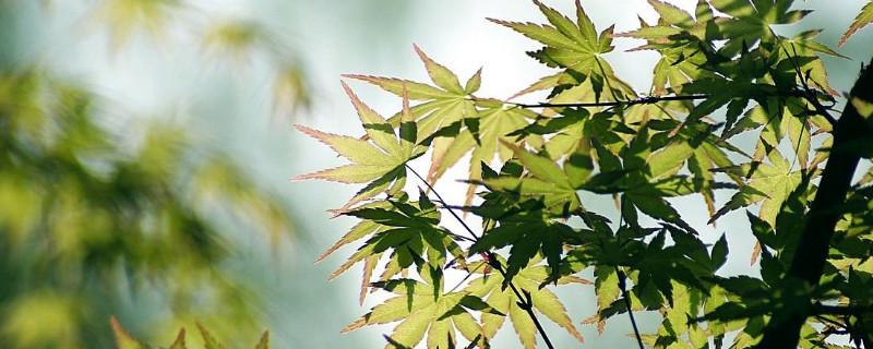 鸡爪槭水浇多了叶子会焉了吗