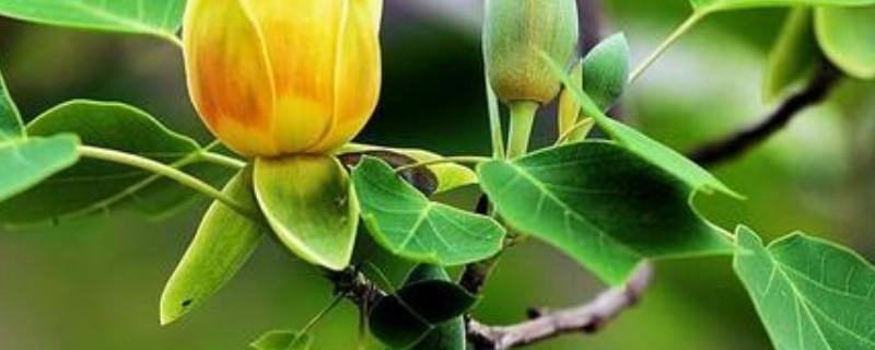 马褂木和鹅掌楸的区别