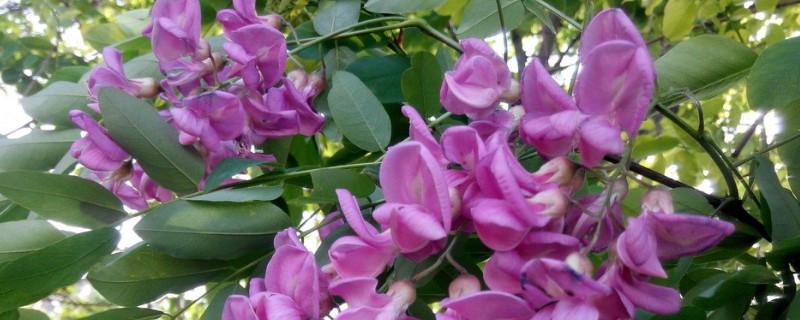 香花槐是落叶还是常绿