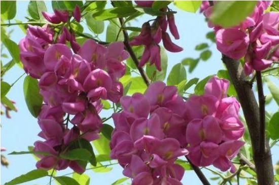 香花槐叶子发黄原因