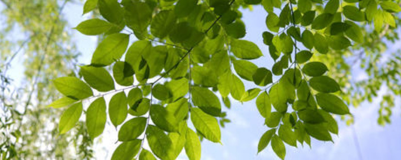 国槐是落叶乔木还是常绿乔木