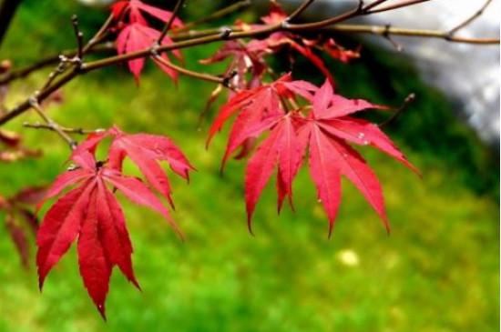雞爪槭的葉子什么時候紅