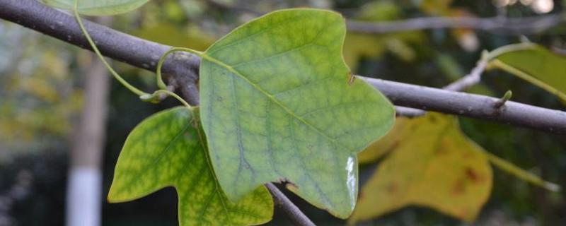 马褂木叶子哪个季节是绿色的