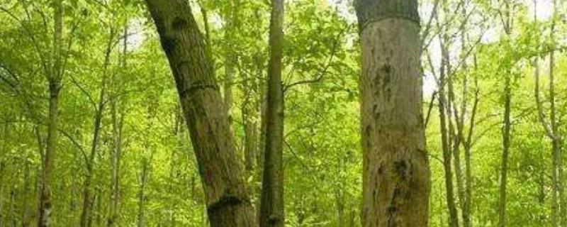 杜仲树怎么剥皮
