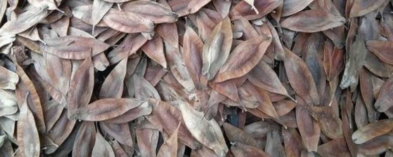 杜仲树怎么种