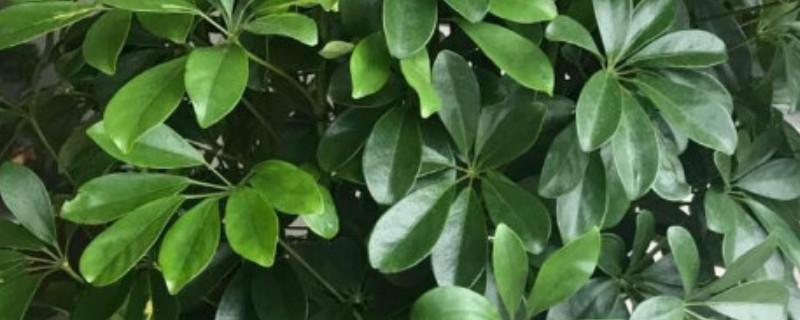 元宝树叶子发黑是什么原因