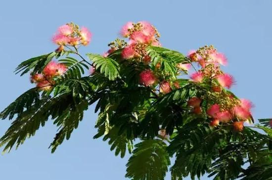 夜合树怎么种植