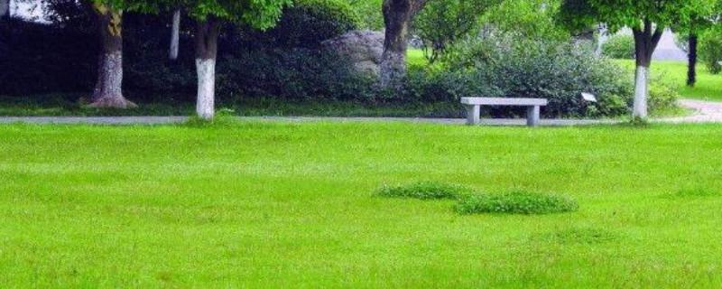 紫羊茅属于草坪草吗