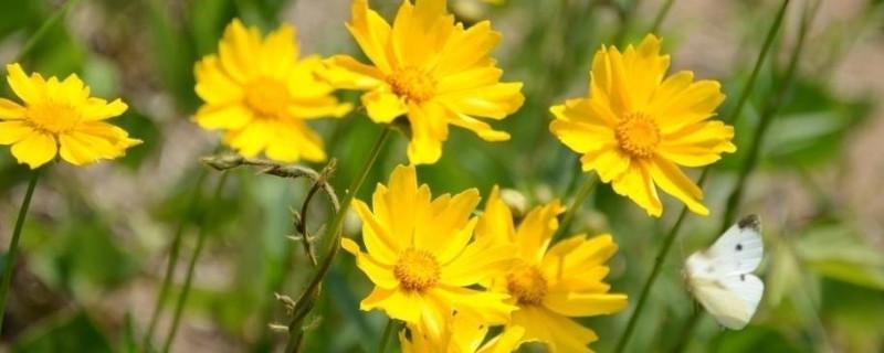 大花金鸡菊什么时候开花
