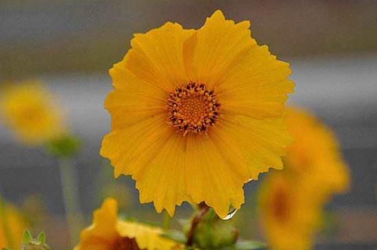 大花金雞菊的花語