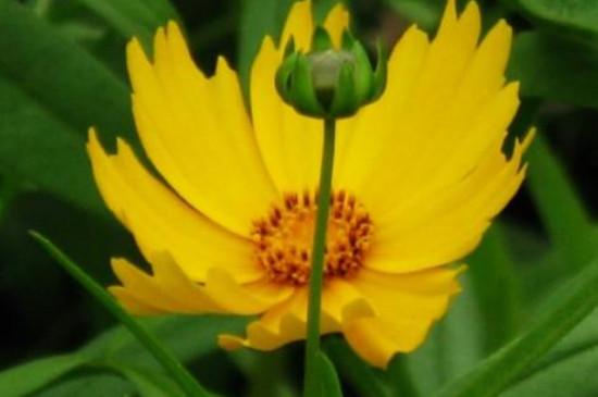 大花金鸡菊的花语