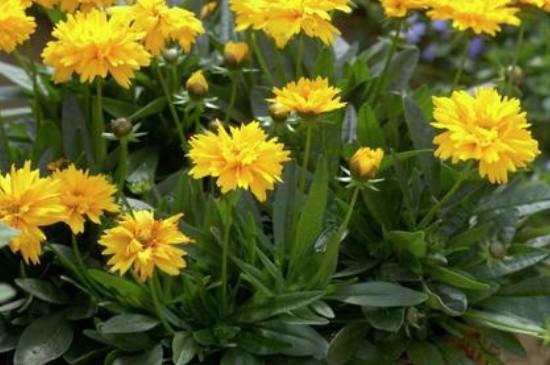 大花金鸡菊的种植方法