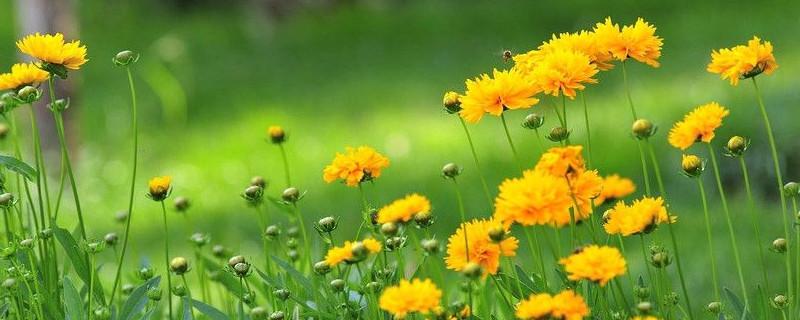 大花金鸡菊的养殖方法