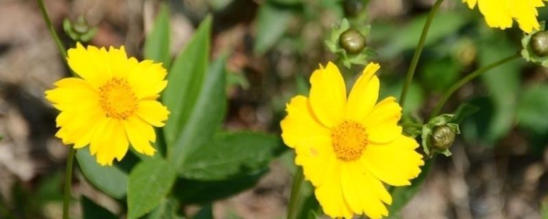 大花金鸡菊怎么种
