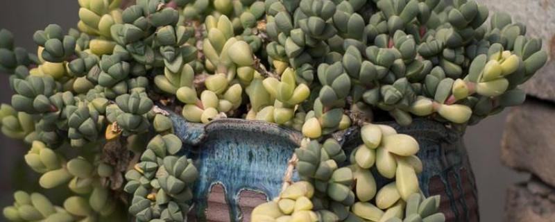 鹿角海棠怎么爆盆