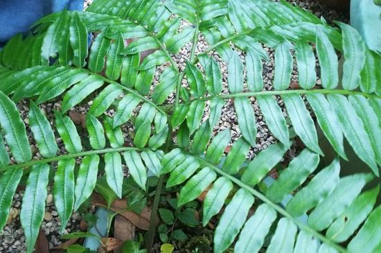 波斯頓蕨怎么繁殖