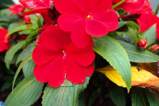 何氏鳳仙花的花期多久