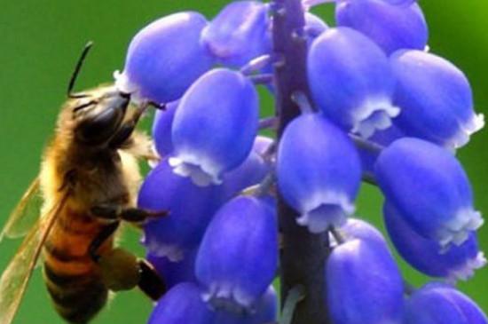 葡萄风信子怎么繁殖