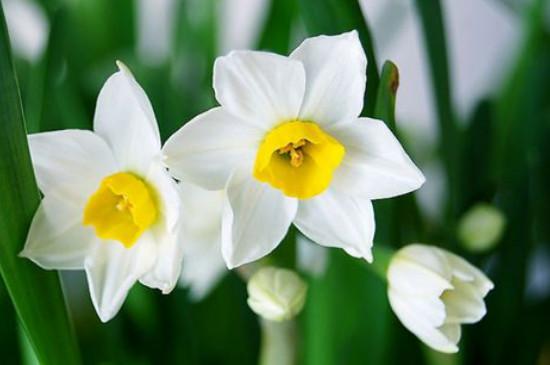 西洋水仙的花语是什么