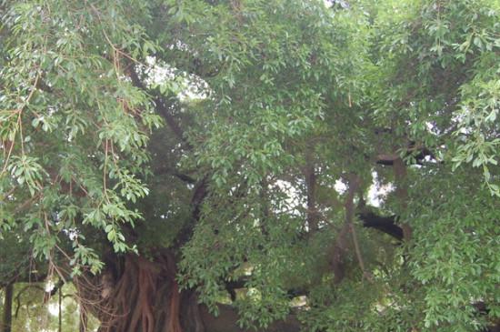 什么树的种子不进入土壤就可以发芽生根