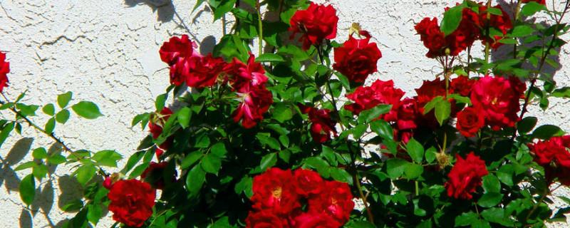 玫瑰花種植方法全過程